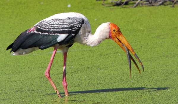 Painted Stork fishing