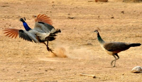 Peafowl-male running away