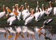 Pelicans & Painted Stork