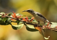 Purple Sunbird – female