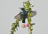 Purple Sunbird – male