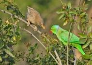 Parakeet & Jungle Babbler