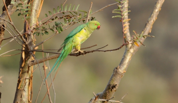 Rose-ringed Parakeet f.