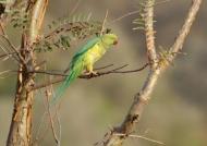 Rose-ringed Parakeet f.