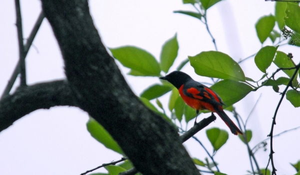 Scarlet Minivet – male