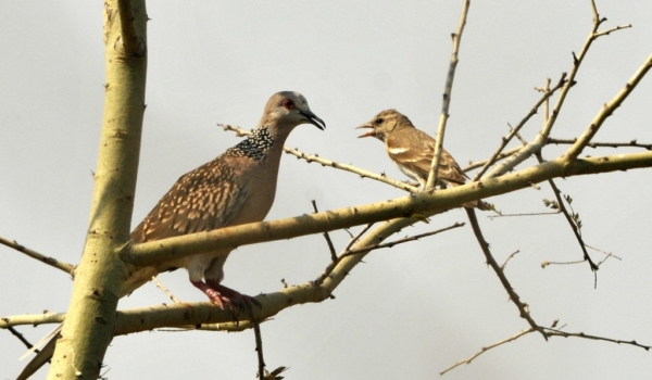 Spotted Dove & Silverbill