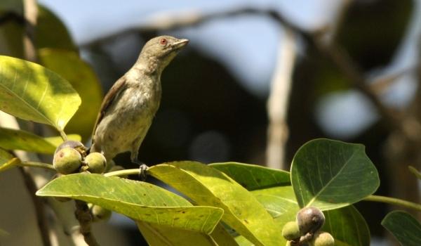 Thick-billed Flowerpecker