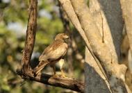 White-eyed buzzard