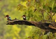 White-throated Kingfishers