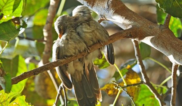 Jungle Babblers