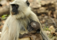 Hanuman Langur with baby
