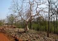 Tadoba N.P. – ghost tree