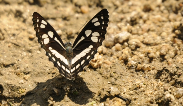 Common Sailor Butterfly