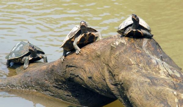 Indian black Turtles