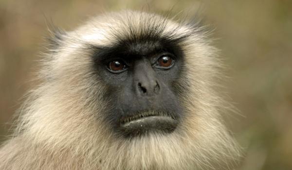 Hanuman Langur-Portrait