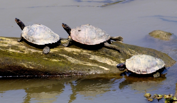 Indian black Turtles