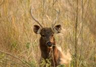 Sambar Deer m.