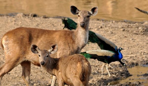 Sambar Deer & his baby