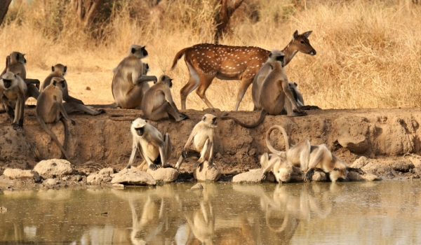 Spotted Deer with Langurs
