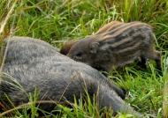 Wild Boars – Babies