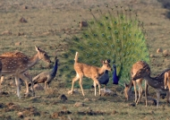 Spotted Deers & Peacocks