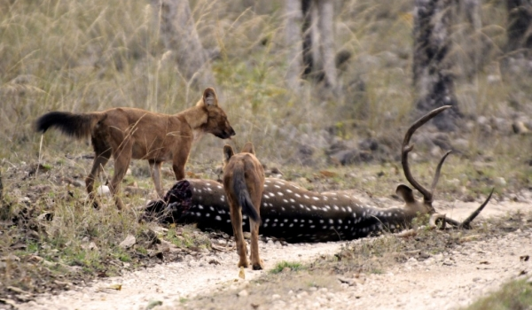 Wild Dogs after a kill