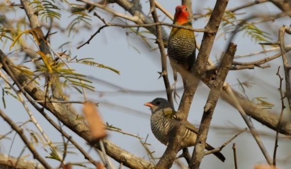 Green-winged Pytilia – couple