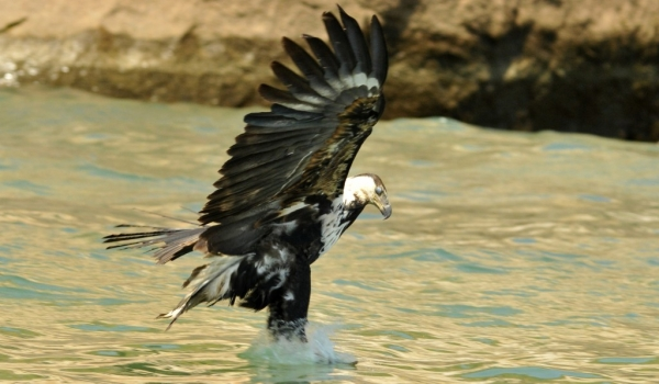 African Fish Eagle – juv.