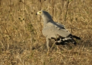 African Harrier Hawk