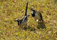 African Pied Wagtails