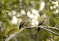 Arrow-marked Babblers