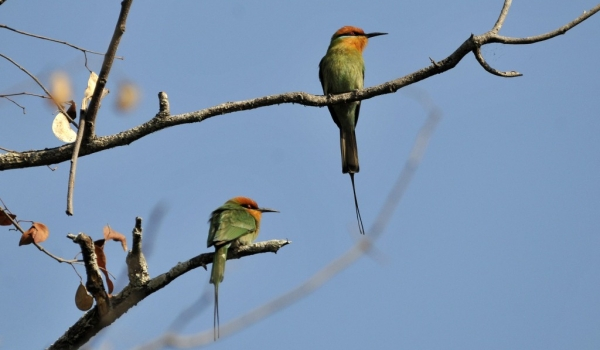 Couple of Böhm's Bee-eaters