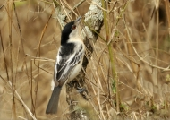 Black-backed Puffback  – f.