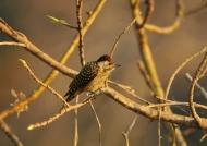 Cardinal Woodpecker – f.