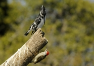 «Talking» to Pied Kingfisher