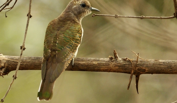 Klaas's Cuckoo – female