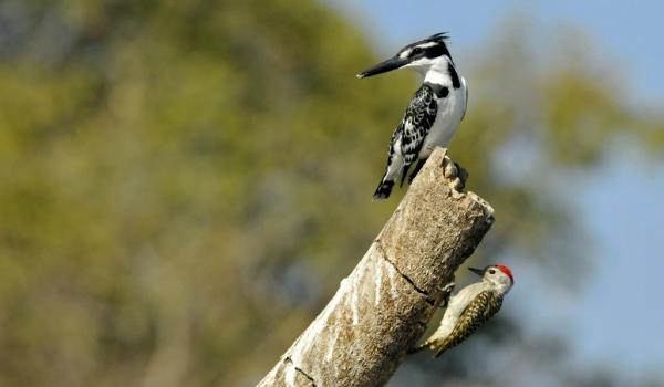 With Cardinal Woodpecker