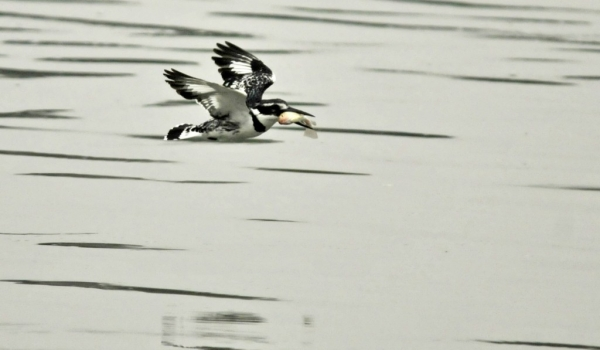 Pied Kingfisher – female