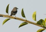 Slaty Flycatcher
