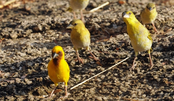 Brown-throated Weaver-family