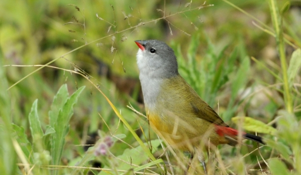 Yellow-bellied Waxbill