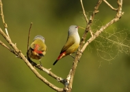Yellow-bellied Waxbills
