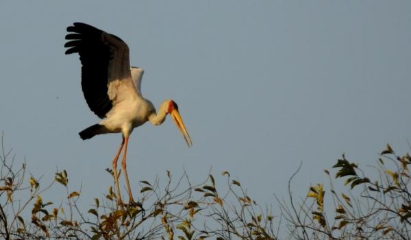 Yelow-billed Stork