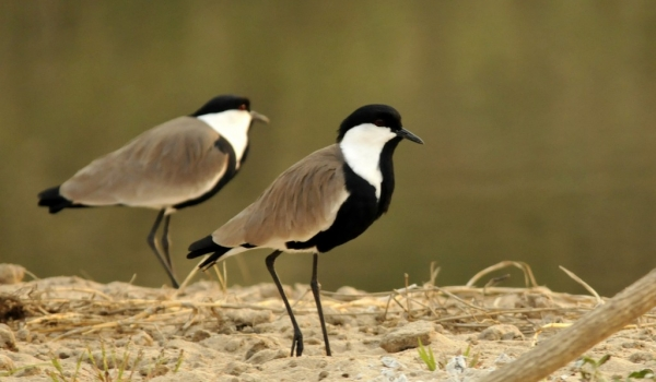 Spur-winged Lapwings – m.&f.