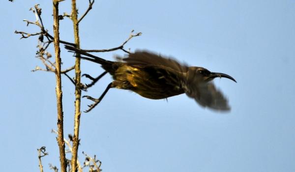 Bronzy Sunbird