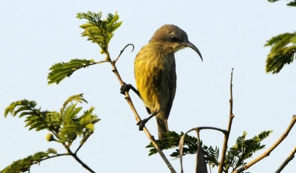 Bronzy Sunbird – f. juv.