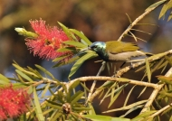 Green-headed Sunbird