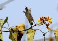 Scarlet-chested Sunbird – f.