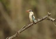 Striped Kingfisher