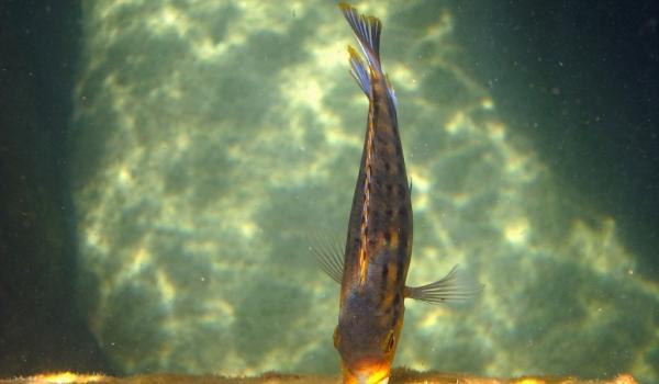 Tropheops sp. red cheek